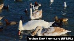 До Севастополя – на зимівлю. Лебеді в бухті Омега (фотогалерея)