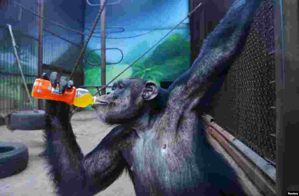Çində yerləşən zooparkda şimpanze su içərkən REUTERS/China Daily