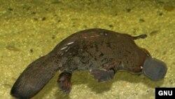 Древнейшие млекопитающие не вынашивали своих детенышей, по способу размножения они напоминали яйцекладущих, например обитающего в Австралии утконоса.