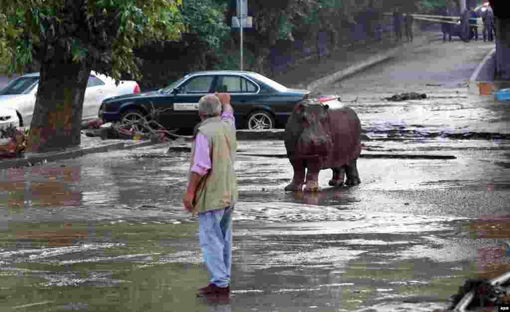 14 червня 2015 року. Бегемот, який утік із зоопарку, ходить по затопленій вулиці в Тбілісі.Через сильні зливи і зсуви ґрунту 13 червня різко піднявся рівень води в річці Вере, яка тече через частину Тбілісі, зокрема, і в центрі міста. Унаслідок повені загинули щонайменше 19 людей, центральні райони міста були спустошені. Відбулися значні руйнування тбіліського зоопарку, внаслідок чого чимало тварин загинули та ще багато втекли. Частину їх вдалося спіймати й повернути до тимчасових вольєрів