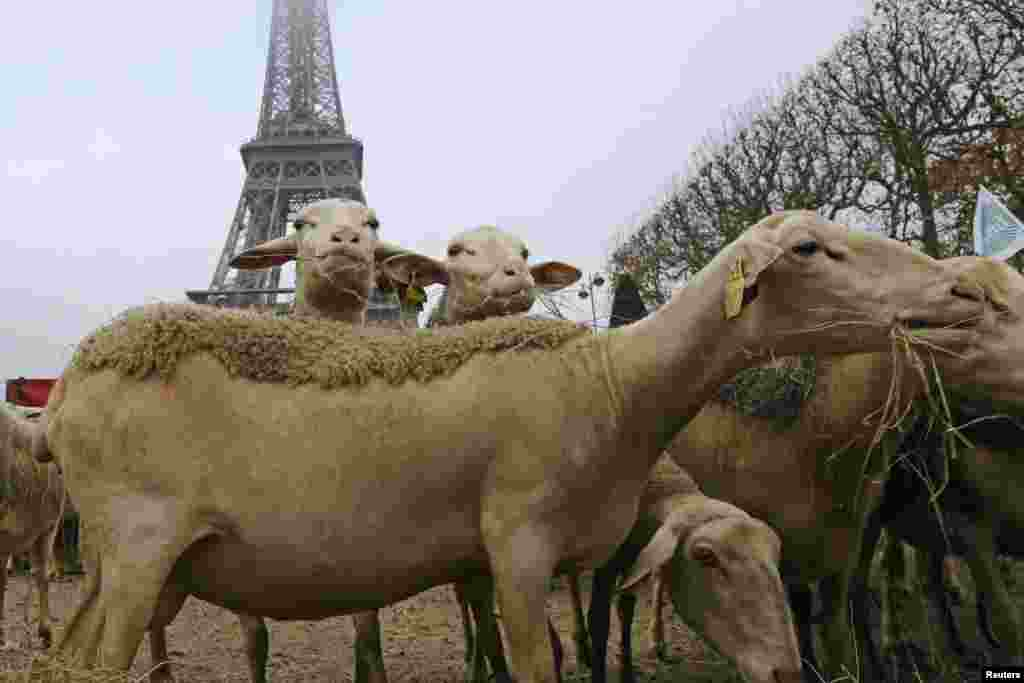 Sheep are seen in front of the Eiffel Tower in Paris during a demonstration by shepherds against the protection of wolves in France. (Reuters/Jacky Naegelen)