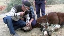 Atın dişini narkozsuz çıxarır (Ürəyi zəif olanlar baxmasın)