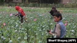 Câmp de maci pentru opiu, provincia Badahșan, Afganistan, iulie 2017