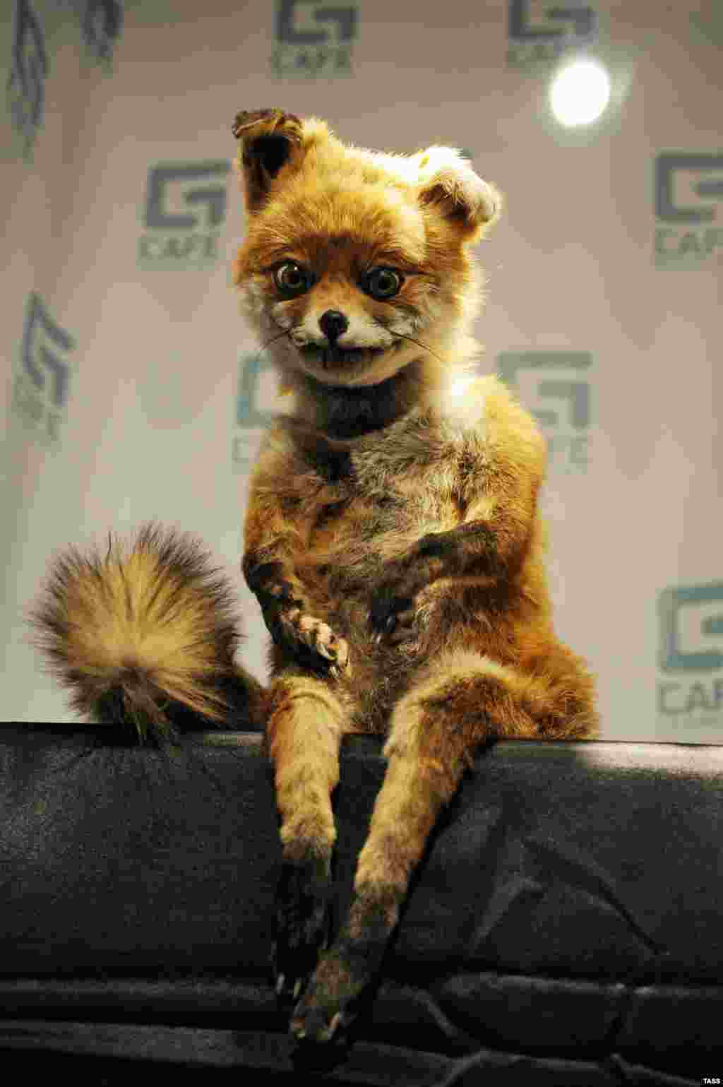 A stuffed fox created by Adele Morse, a British artist and taxidermist, appears at an exhibition in St. Petersburg. The fox, which sports a dazed look and sits in a humanlike pose, has become a celebrity in Russia. Numerous images of the fox Photoshopped in various scenes have appeared on social networking sites. (ITAR-TASS/Ruslan Shamukov)