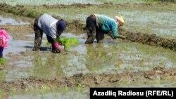 Astara rayonunda çəltik tarlası
