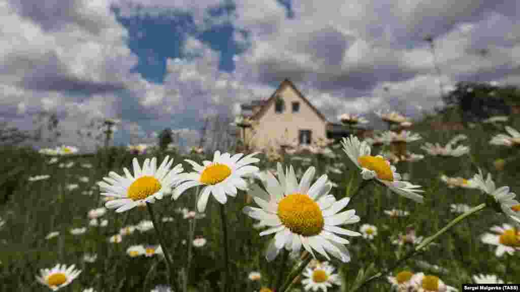 Цветущие ромашки в селе Клиновка, Крым