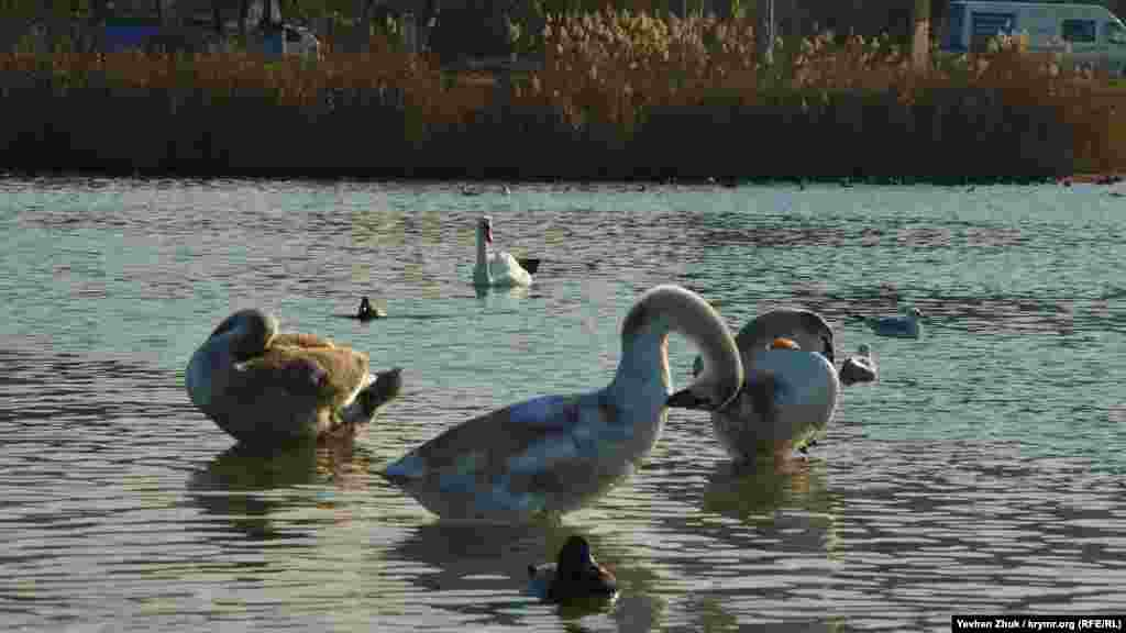 Молодые лебеди чистят перья