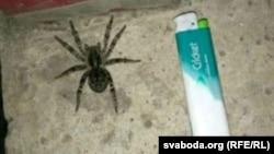 Рэчыцкі тарантул