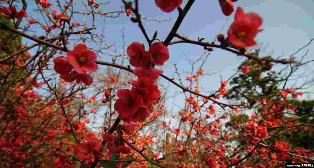 Хеномелес, или айва японская, обычно зацветает в Алупке в конце марта. Нынче же растение порадовало глаз посетителей здешнего старинного парка у Воронцовского дворца аккурат к празднику 8 Марта