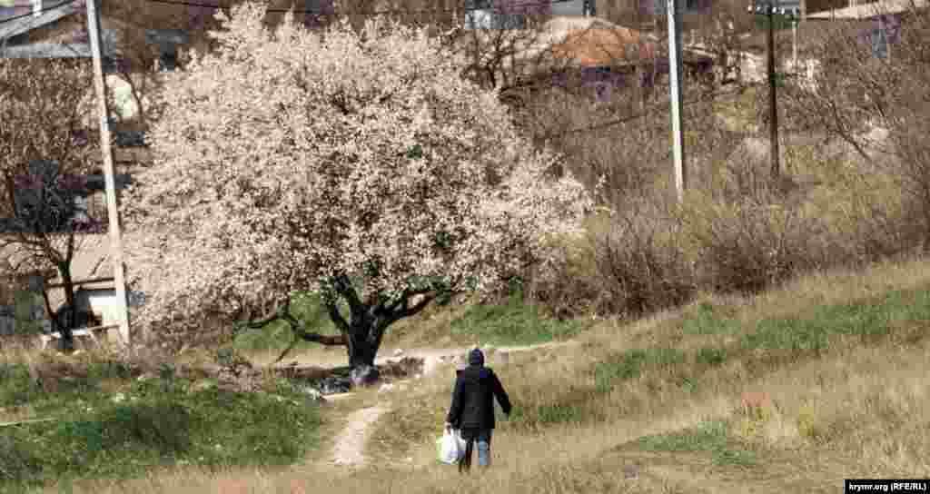 Заканчивается пышное цветение ранних сливовых