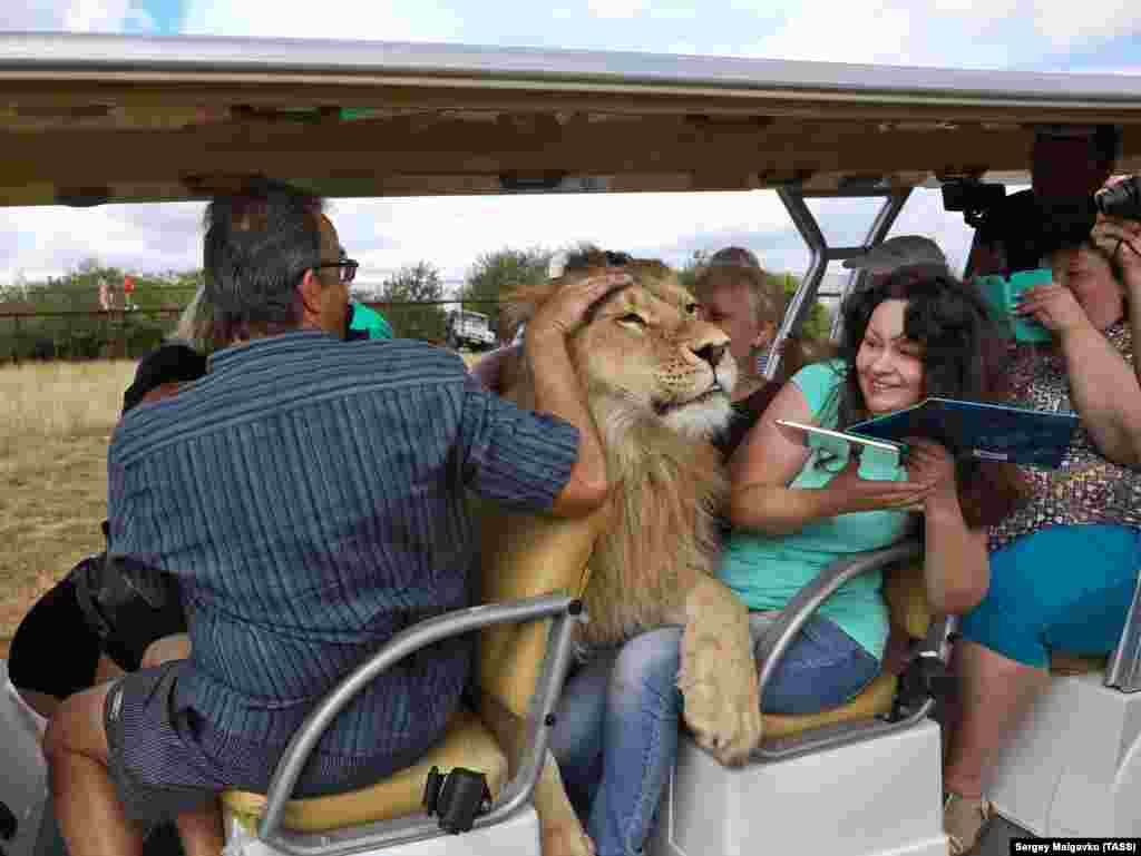 Filya, a 2-year-old lion, gets very friendly with tourists at Crimea's Taigan Safari Park on September 5. (TASS/Sergei Malgavko)