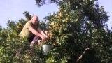 Рекордный урожай мандаринов в Абхазии