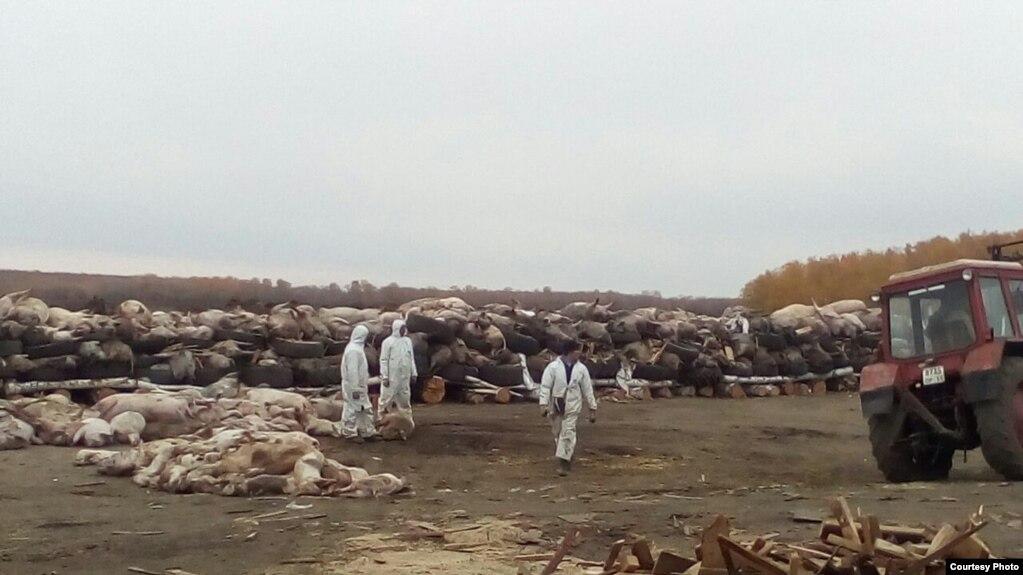 Во время борьбы с эпидемией в регионе уничтожено 24 400 свиней