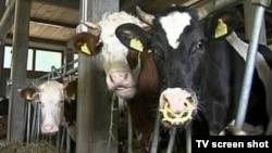 Bosnia and Herzegovina - Sarajevo,TV Liberty 674,cows,milk production,01Jul2009