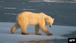 Белый медведь в канадской провинции Манитоба. Иллюстративное фото.