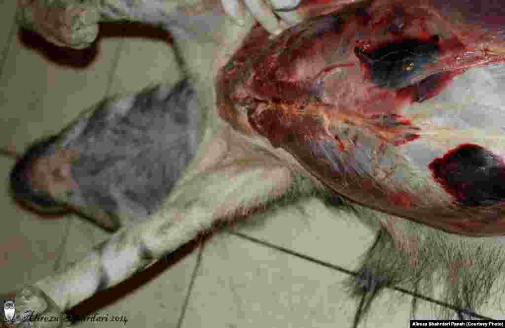 به گفته دامپزشک کالبدشکافی، وقتی شکم حیوان را باز کردند حجم زیادی خون بیرون زد