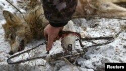 У Беларусі дазваляюць паляваць з капканамі