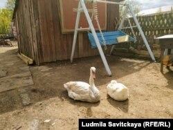 Лебедь и гусыня по дворе у Базылевой