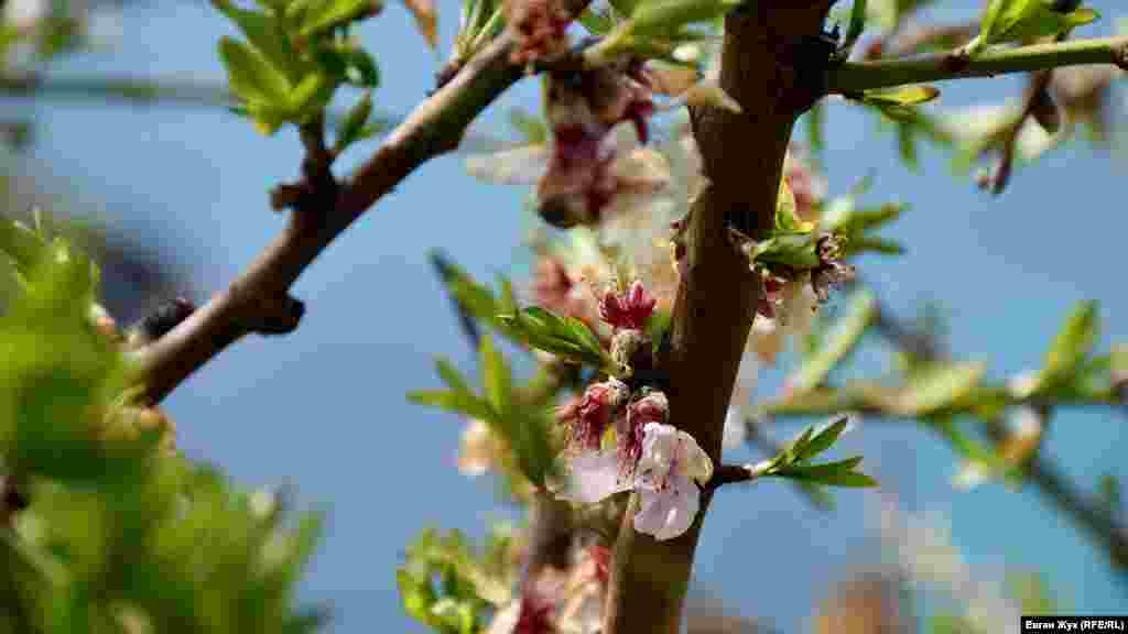Березневі заморозки перервали барвисте цвітіння дерев у Севастополі. Через це пелюстки видаються обпаленими, а частина з них вже опала