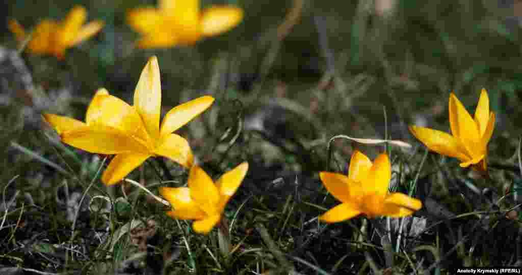 На сонячному горбочку розпустилися перші цьогоріч золотисті крокуси або шафран
