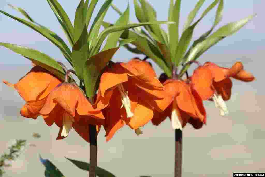 Посмотреть на уникальный цветок приезжают не только кыргызстанцы, но и граждане других стран.