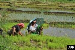Рисовые поля Индии.