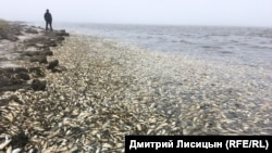 Массовый выброс сельди. Залив Пильтун. Остров Сахалин. Июнь 2018 года.