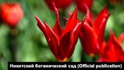 Тюльпаны сорта «алладин»