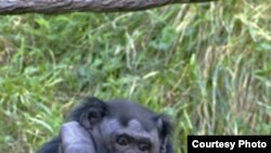 Бо́нобо (лат. Pan paniscus) или карликовый шимпанзе — вид из рода шимпанзе семейства гоминидов