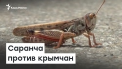 Саранча против крымчан | Радио Крым.Реалии
