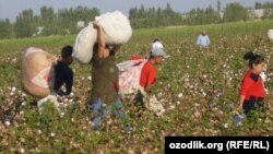 Almost all of Uzbekistan's cotton crop is harvested by hand now.