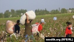Uzbek schoolchildren harvest cotton in the fields.