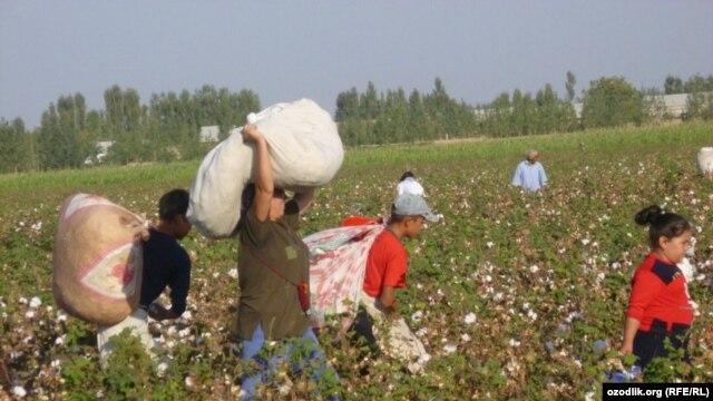 Uzbek schoolchildren harvest cotton in the fields.
