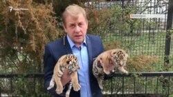 Алтай и Тайган: новорожденные тигрята в парке Олега Зубкова (видео)