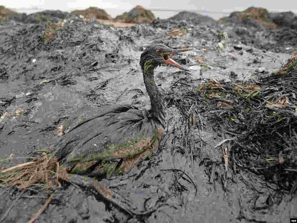 Russia -- environment oil spill kerch straight 11Nov2007 - 11 листопада внаслідок штурму в Керченській затоці Чорного моря розбився танкер і у воду потрапили тисячі тонн нафтопродуктів