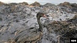 Наслідки витоку у море мазуту з затонулого у Кенрчинській протоці судна, 11 листопада 2007 р.