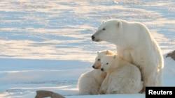 Polarni medvjed, Kanada