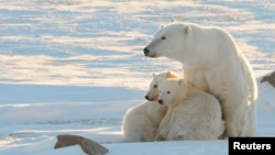 Canada – A female polar bear with two cubs near Churchill, Canada, November 2010