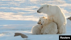 A female polar bear with cubs near Churchill, Canada