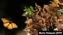 "Fotografija ""leptira monarha"", latinskog naziva - danaus plexippus"