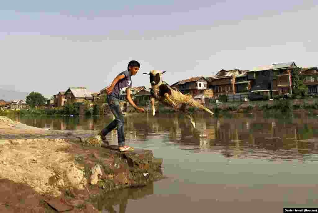 Кашмірскі хлопчык мые ў рацэ авечку .