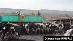 В крестьянском хозяйстве «Абдугани». Южно-Казахстанская область, 17 ноября 2015 года.