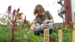 З даху до столу. Як працює ферма на покрівлі у Копенгагені?   Історії з Європи