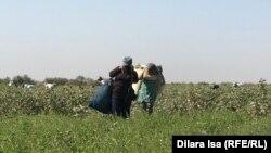 Мақта теріп жүрген өзбекстандықтар. Түркістан облысы, 2 қазан 2018 жыл