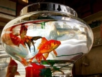 The goldfish is a Norouz symbol for many Iranians (Fars)