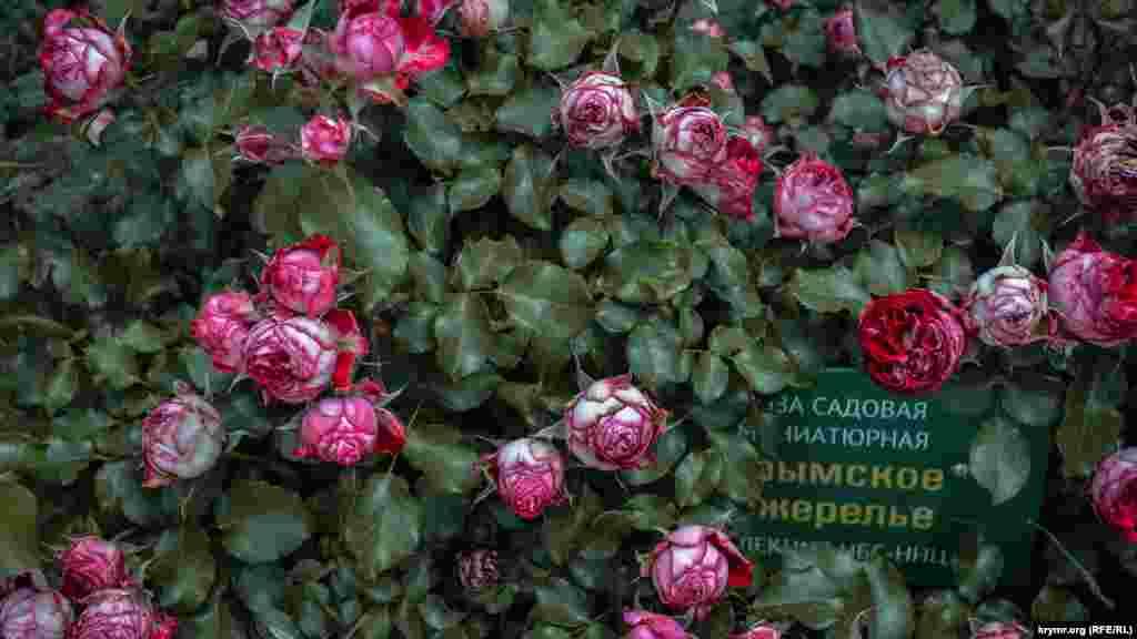 В Никитском ботаническом саду в Ялте открылась традиционная выставка роз «Розовый вальс»