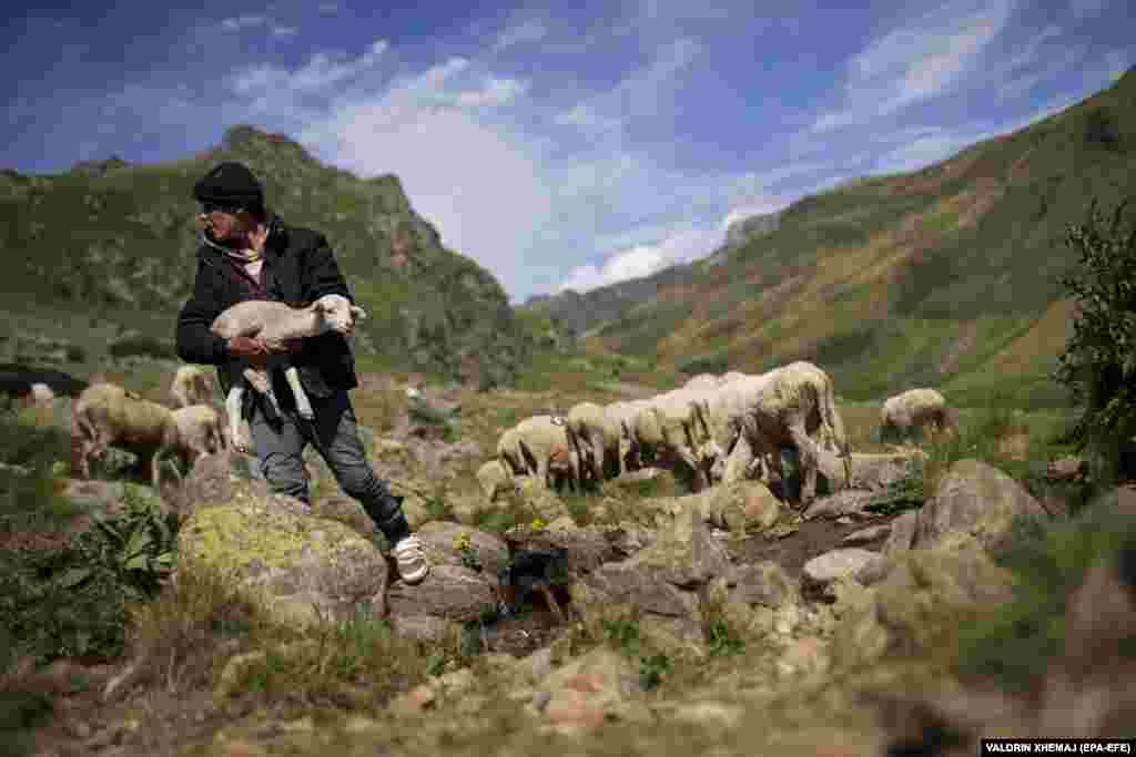 Borjan carries a lamb through a mountain pasture.