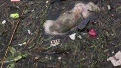 Более 7500 мертвых свиней найдено в водах Шанхая