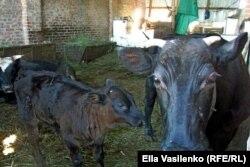 Коровы Тимохина в старом совхозном загоне