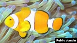 Пример симбиоза. Рыба-клоун (Amphiprion ocellaris) обитает среди жалящих щупалец морских анемон (Heteractis magnifica). Рыбы-клоуны защищают растения от питающихся анемонами рыб, а растения отпугивают хищников. Сама рыба-клоун покрыта защитной слизью.